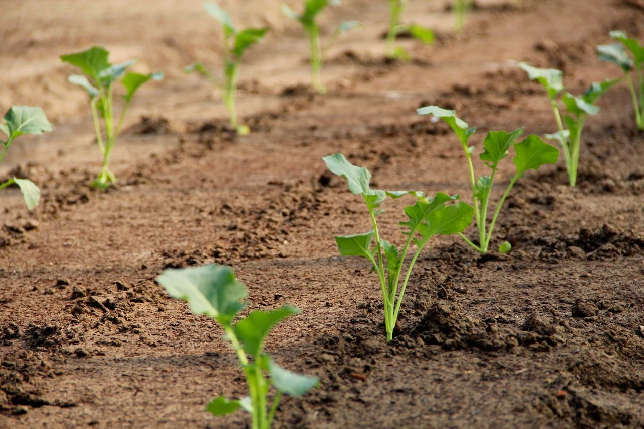 посадка капусты без рассады в открытый грунт